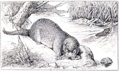 Tarka the Otter from Henry Williamson's 1927 novel