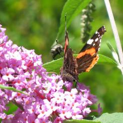 Red Admiral Butterfly - Offwell Nature Park