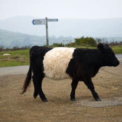 Belted Galloway - Dartmoor