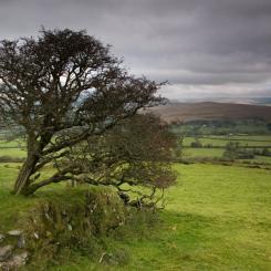 Brentor Hawthorn