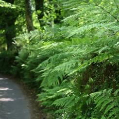 Fern Lane - Dartmoor