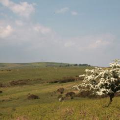 Dartmoor Hawthorn