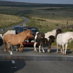 Dartmoor Pony Jam