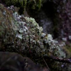 Dartmoor Woodland Lichen