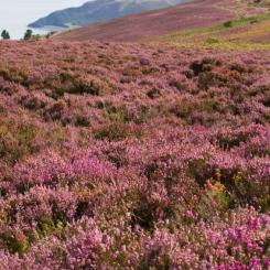 Exmoor Heather