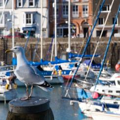 Ilfracombe Harbour Seagull
