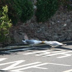 Seagull Tug-o-War