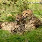 Exmoor Zoo - Cheetahs