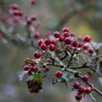 Dartmoor Hawthorn Berries