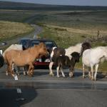 Dartmoor Pony Jam