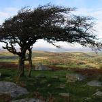 Combestone Tor Tree - Dartmoor