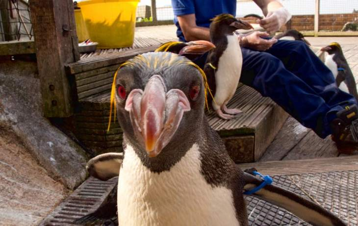 Living Coasts - Macaroni Penguin