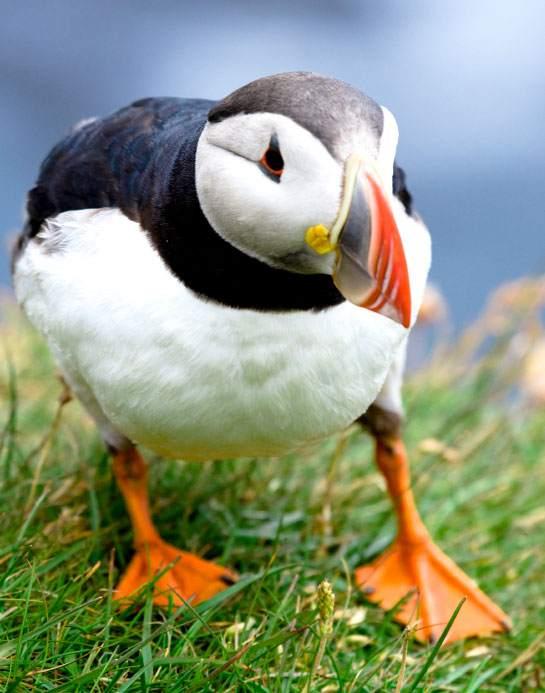 Puffin - Lundy