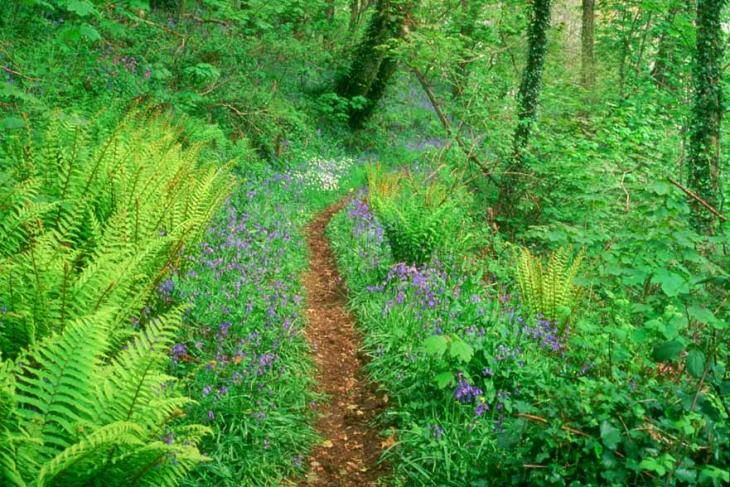 Bluebells in Slapton Wood