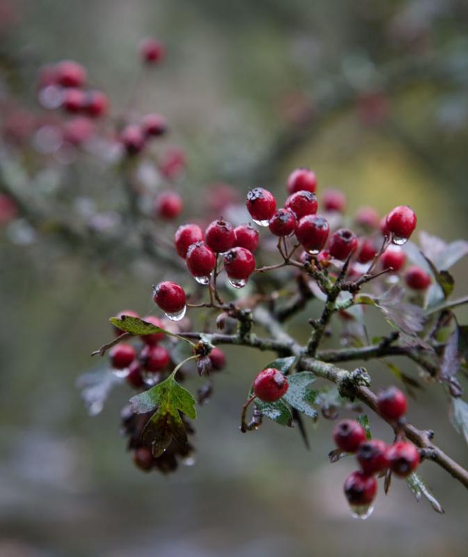 Dartmoor Hawthorn Berries